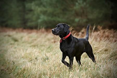 gundog: Black Labrador Stock Photo