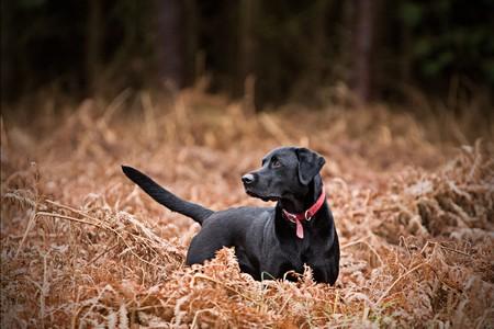 perro labrador: Labrador Negro