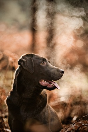 Chocolate Labrador in Cold Countryside