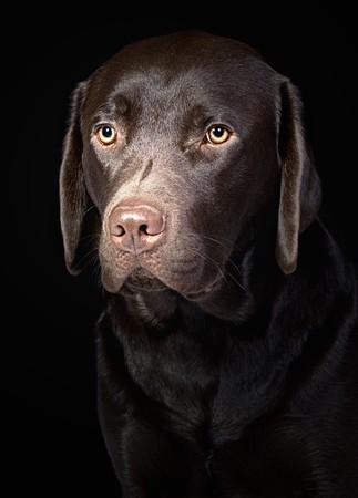 Cute Chocolate Labrador Retriever photo