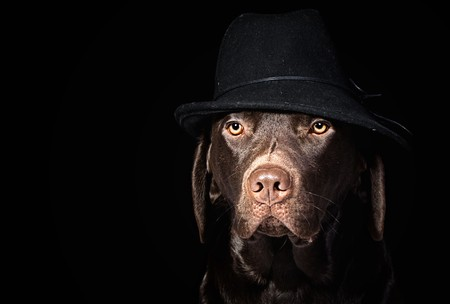 Chocolate Labrador in Black Hat against Black Background Stock Photo - 4285061