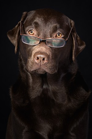 Wise and Intelligent Looking Chocolate Labrador photo