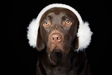 ear muffs: Cute Chocolate Labrador in White Ear Muffs