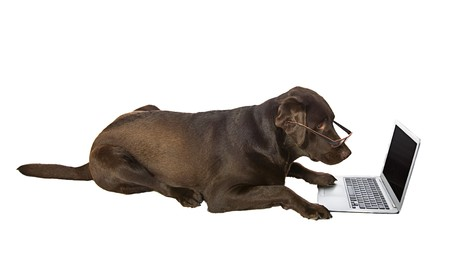 Clever Labrador Retriever on Laptop Standard-Bild