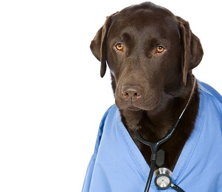 dr: Shot of Dr Labrador with Copy Space