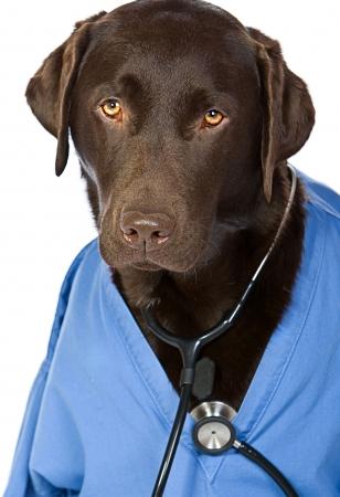 Doctor Labrador photo