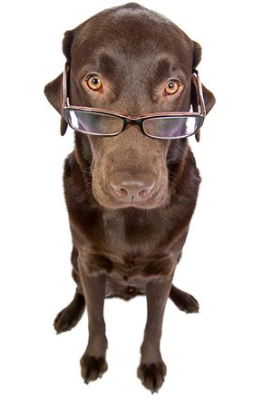 Clever Labrador with Glasses photo