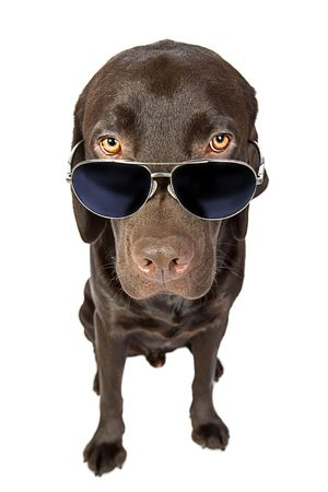 canines: Cool Labrador in Sunglasses