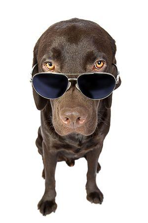 cool down: Cool Labrador in Sunglasses