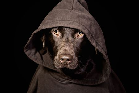 intimidating: Intimidating Chocolate Labrador in Hooded Top Stock Photo