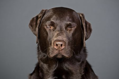 eyes shut: Shot of a Chocolate Labrador with his Eyes Shut