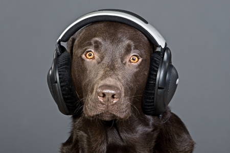 earbud: Shot of a Chocolate Labrador Listening to his Headphones
