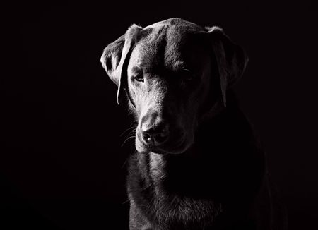 Powerful Black and White Shot of a Sad Looking Labrador photo