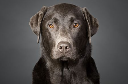 Shot of a Proud Chocolate Labrador Stock Photo