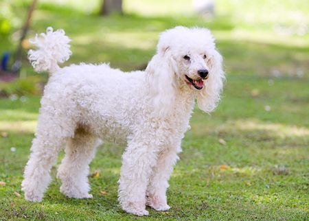Shot of a Poodle Standing in the Garden Stock Photo
