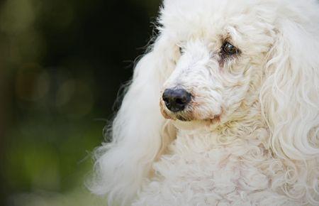 miniature poodle: Shot of a White Miniature Poodle