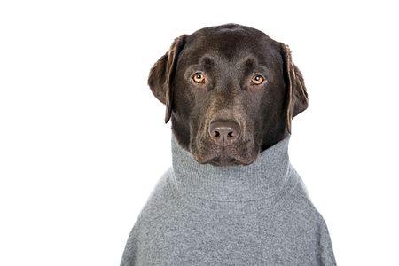 suave: Handsome Chocolate Labrador in Grey Roll Neck Jumper