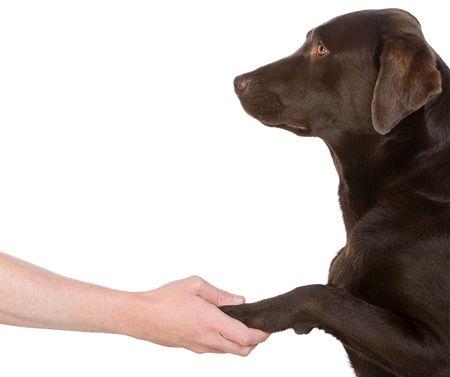 Human Hand Holding Chocolate Labradors Paw