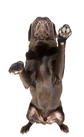 Isolated Shot of a Chocolate Labrador with Both Paws in the Air photo