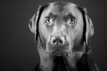 brown and black dog face: Black and White Shot of a Striking Labrador