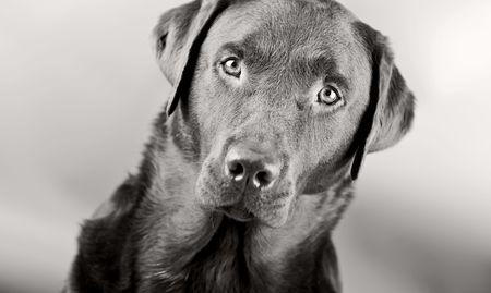 Monochromatic Head Shot of a Striking Labrador photo
