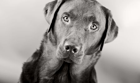 brown and black dog face: Monochromatic Head Shot of a Striking Labrador Stock Photo