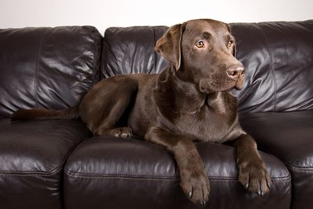 brown leather sofa: Shot of a Cute Chocolate Labrador Lying on a Sofa Stock Photo