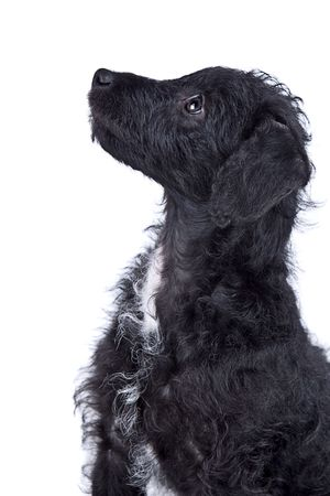 Isolated Shot of an Adorable Jack-a-Doodle Puppy photo
