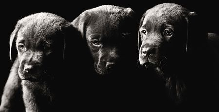 Low Key Shot of Three Labrador Puppies