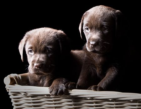Low Key Shot of Two Chocolate Labrador Puppies in a Basket photo