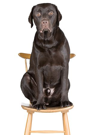 Shot of a Chocolate Labrador Sat on a Chair photo