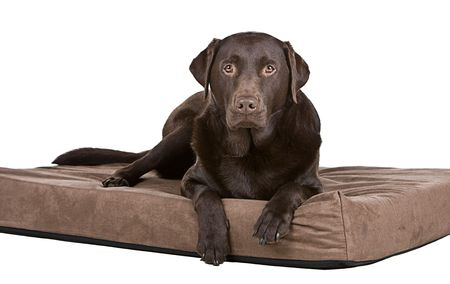 brown and black dog face: Shot of a Handsome Chocolate Labrador on His Memory Foam Bed. Comfy! Stock Photo