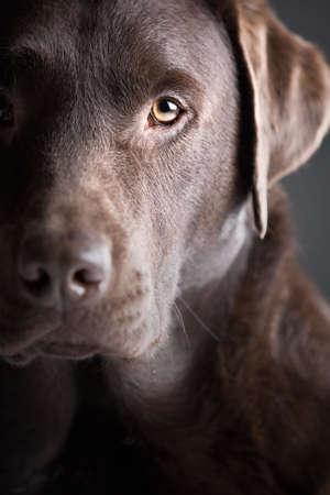 labrador retriever: Baja shot de jefe de la clave de un hermoso Labrador Chocolate Foto de archivo