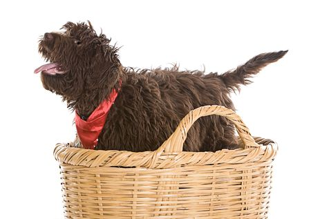 poodle mix: Shot of a Cute Labradoodle Puppy in a Basket Stock Photo
