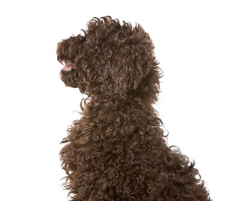 Profile Shot of a Chocolate Labradoodle Puppy photo