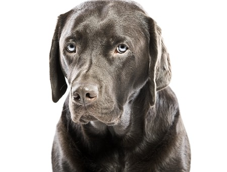 Isolated Shot of a Sad Looking Labrador with Blue Eyes photo
