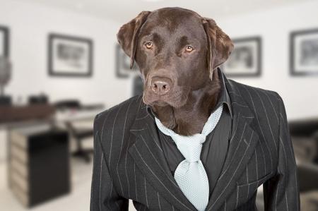 perros vestidos: Disparo de un Labrador Chocolate en la banda Pin Suit contra el tel�n de fondo de Oficina