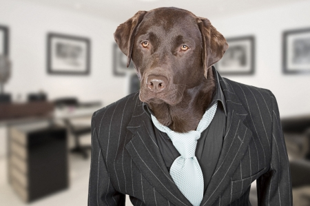 pin stripe: Shot of a Chocolate Labrador in Pin Stripe Suit against Office Backdrop