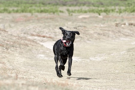 Shot of a Young Black Labrador Running in the Countryside photo