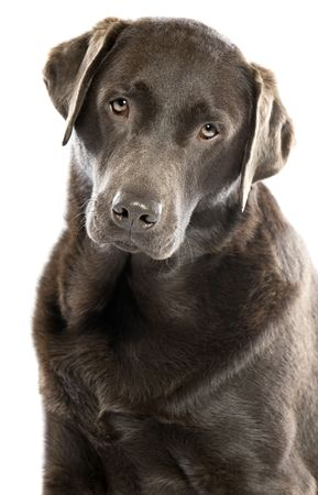 head tilted: Shot of a Cute Chocolate Labrador with Head Tilted