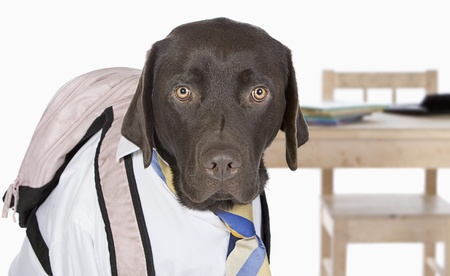 day of school: Young Chocolate Labrador Going Back to School