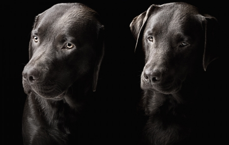 brown and black dog face: Low Key Shot of Two handsome chocolate labradors