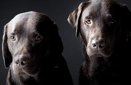 perro labrador: Low Key Shot de los dos perros labradores chocolates guapos