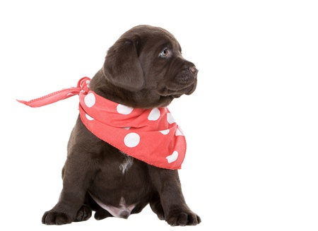 Cute Chocolate Labrador Puppy in Neck Scarf photo