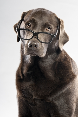 noone: Choc Lab in Glasses Stock Photo