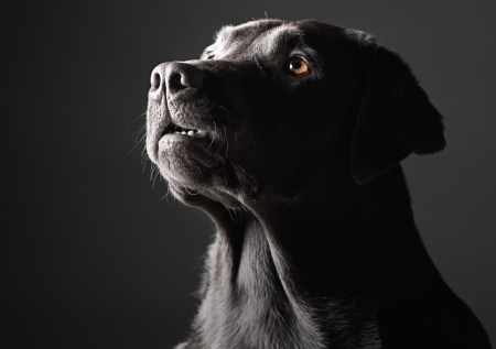 Low Key Shot of a Labrador photo