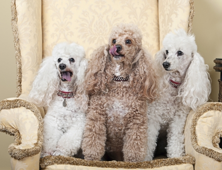 Shot of Three Miniature French Poodles on Chair Stock Photo