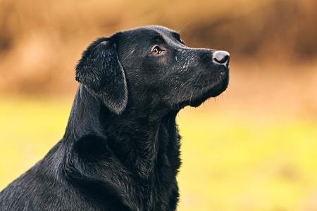 perro labrador: Labrador negro Retrato