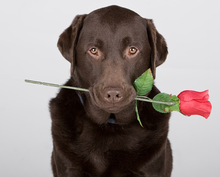 Chocolate Labrador with Rose photo