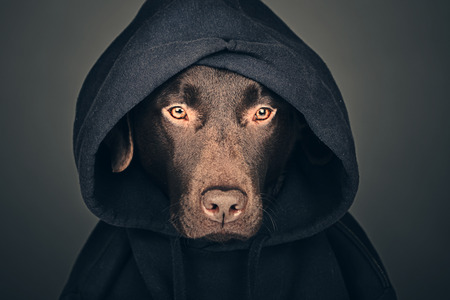 hooded top: Chocolate Labrador in Hooded Top